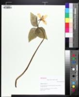 Trillium catesbaei image