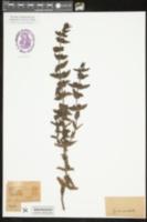 Image of Agalinis auriculata
