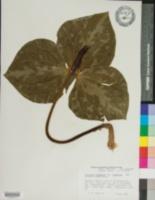Trillium cuneatum var. cuneatum image