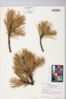 Pinus pungens image
