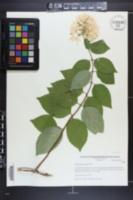 Hydrangea paniculata image