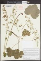 Image of Heuchera caroliniana