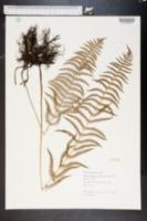 Thelypteris palustris image