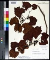 Vitis rotundifolia var. munsoniana image