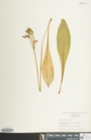Image of Dodecatheon meadia
