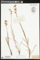 Eurybia spinulosa image