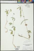 Galactia erecta image