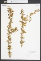 Berberis thunbergii image
