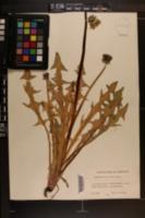 Image of Taraxacum fasciatum