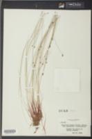 Eleocharis tenuis image