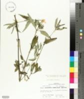 Ruellia caroliniensis image