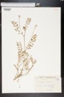 Image of Astragalus lacteus