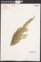 Juniperus chinensis image