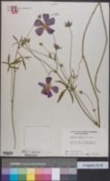 Callirhoe papaver image