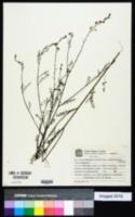 Image of Adesmia ciliata