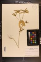 Croton glandulosus var. septentrionalis image