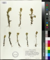 Image of Orthocarpus faucibarbatus