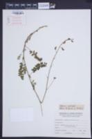 Image of Adesmia punctata