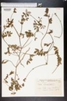 Image of Cracca spicata