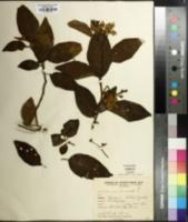 Solanum bonariense image