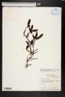 Image of Encyclia pygmaea