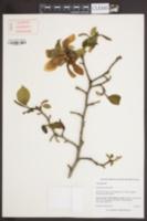 Image of Magnolia kobus