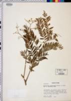 Image of Dictyoloma peruvianum