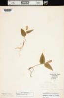 Maianthemum trifolium image