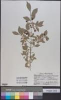 Euonymus alatus image