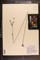 Agalinis aphylla image