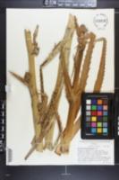 Eryngium monocephalum image
