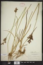 Juncus marginatus var. odoratus image