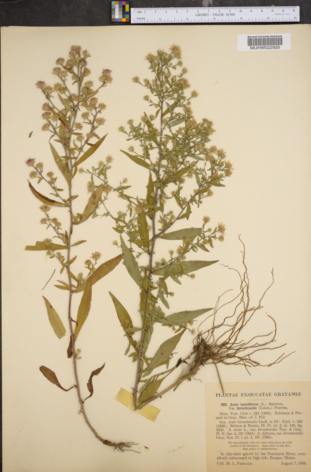 Symphyotrichum lateriflorum var. hirsuticaule image