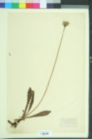 Image of Hypochaeris maculata