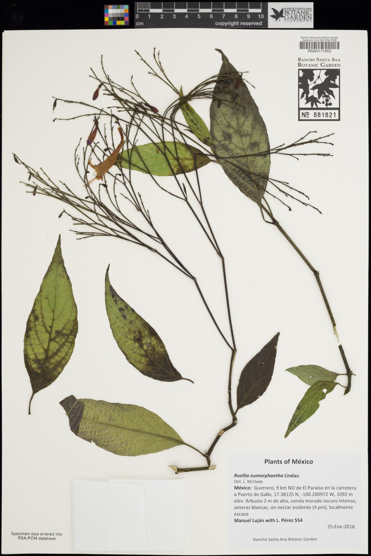 Ruellia eumorphantha image
