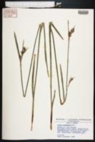 Scleria triglomerata image