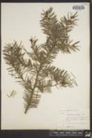 Image of Pseudotsuga douglasii