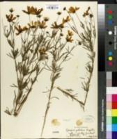 Image of Coreopsis pulchra