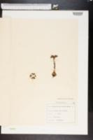 Sempervivum arachnoideum image