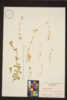 Cerastium glomeratum image