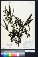 Image of Amorpha nitens