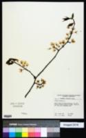 Prunus insititia image