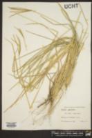 Eustachys petraea image