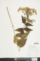 Eupatorium vaseyi image