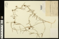 Image of Cynanchum palustre