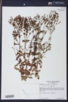 Hypericum acutifolium image