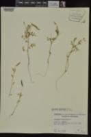 Astragalus leptocarpus image