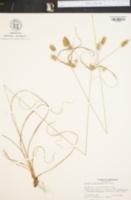 Image of Cyperus retrofractus