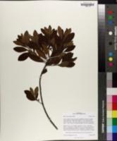 Myrica heterophylla image
