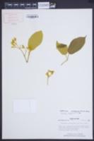 Image of Spathicalyx xanthophylla